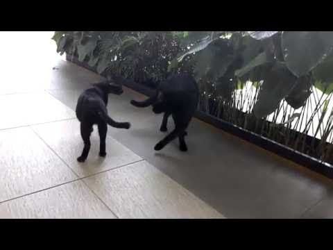 Mother and Son Black Cats Fighting