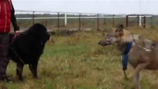 Тибетский мастиф Тяша 2 года - реакция на волка Радогощ