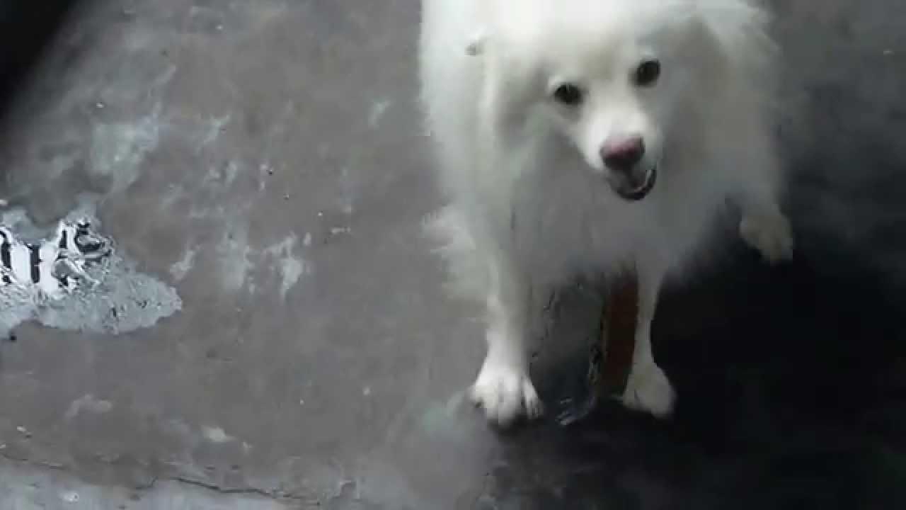 A Sri Lankan Dog Booly Youtube