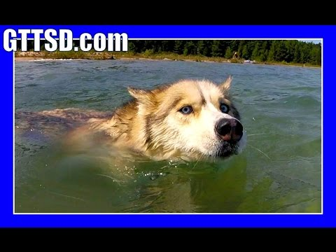 SWIMMING SIBERAN HUSKY | #GoPro #Hero4Session