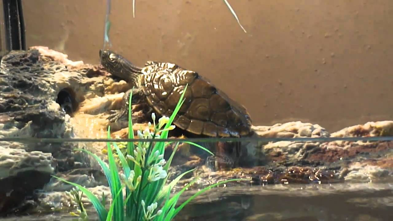 Baby Mississippi Map Turtle Baby Mississippi Map Turtle Basking   YouTube