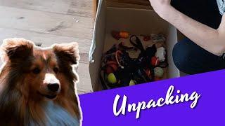 Shetland Sheepdog unpacks her box