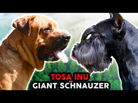 GIANT SCHNAUZER VS TOSA INU! The Best Guard Dog Breed For First Time Owners!