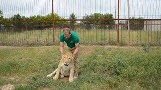 Смотрим, как львица Лола обживается в зоопарке в Крыму