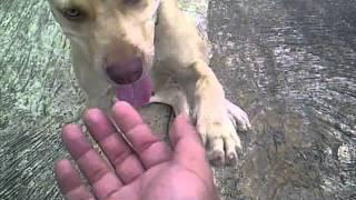 Anjing Pitbull Di Jual