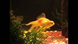 GOLD FISH INSPIRATIONAL FOR DRAWING AND PAINTING - CARPAS JAPONESAS PARA DIBUJAR