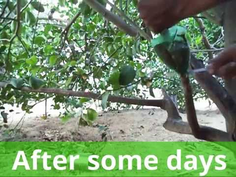 एयर लेयरिंग कैसे करें --How to air layering lemon tree With Update Full episode( Hindi)