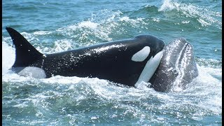 Orca VS calf: the incredible story