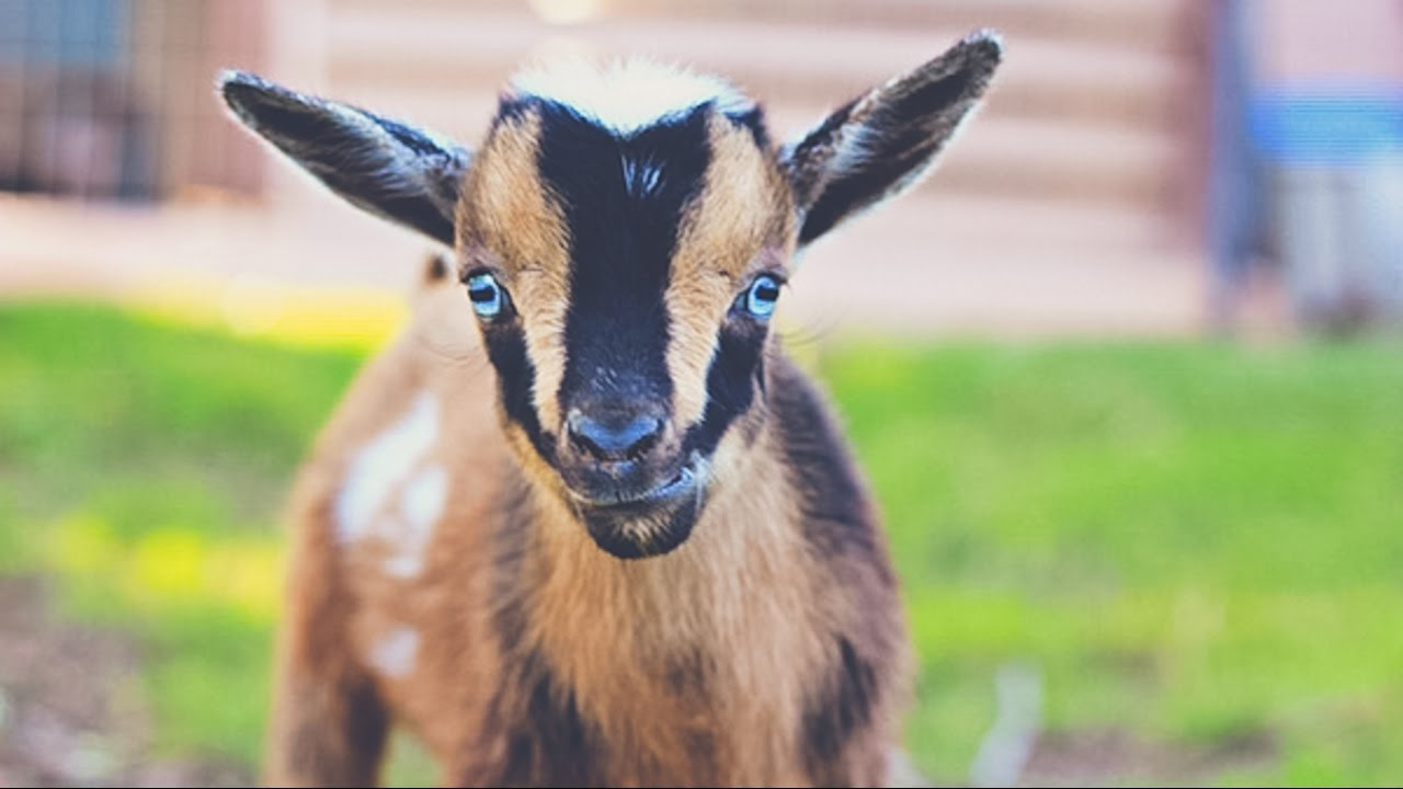 Nigerian vs  Pygmy Goats: Which is best?