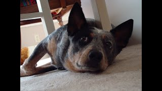 Australian Cattle Dog: What You Need To Know Before Getting One