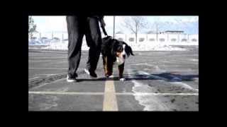 Bernese Mountain Dog Learning Loose Leash Heel & Obedience