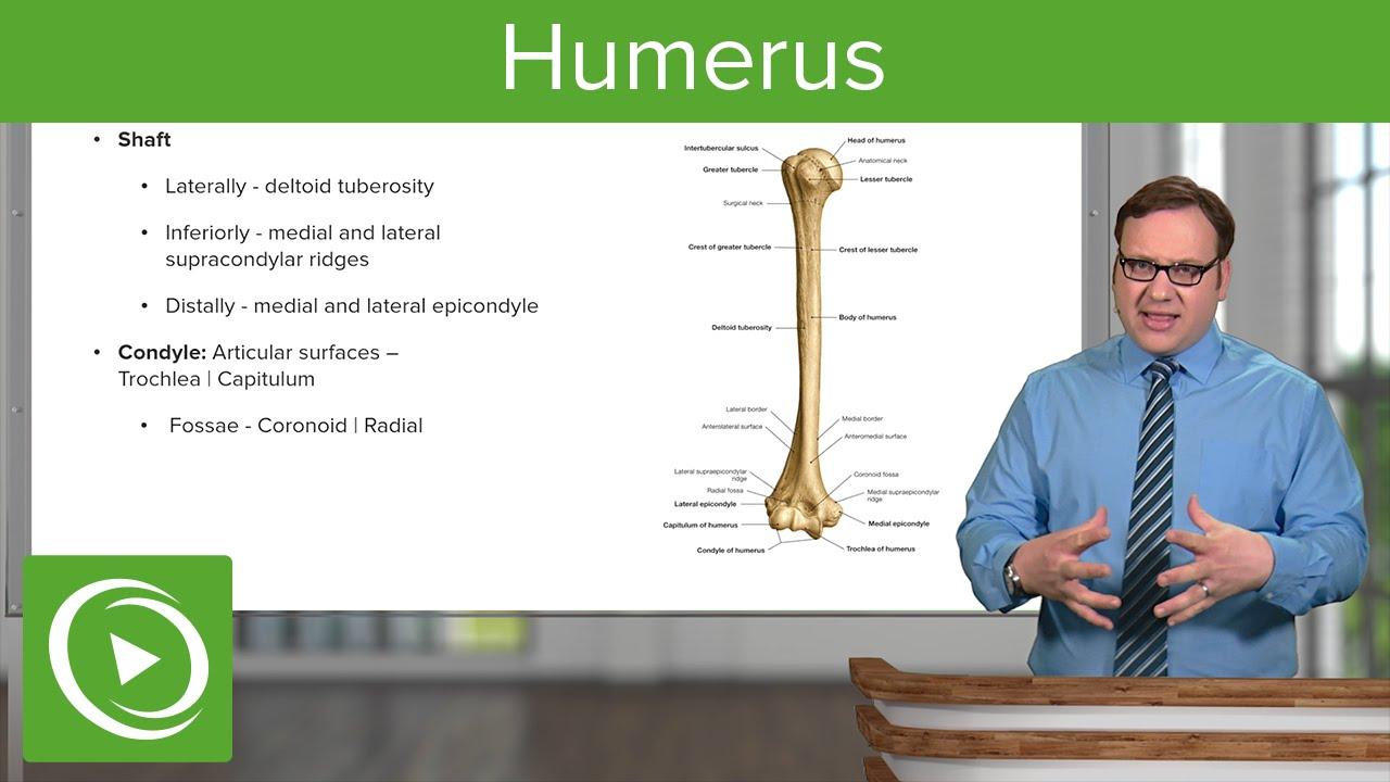 Humerus: Characteristics & Parts – Anatomy | Lecturio