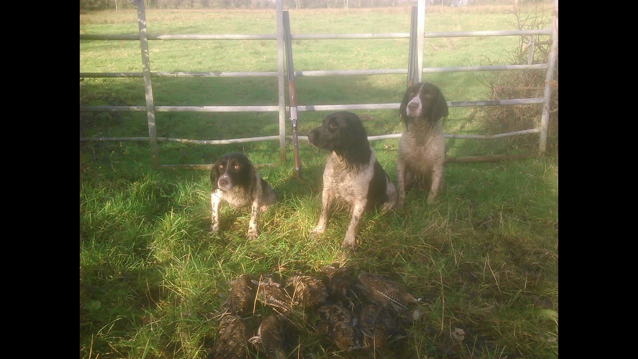 Springer spaniel pups hunting pheasants & woodcock
