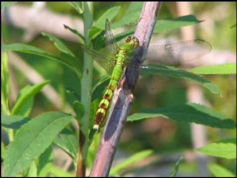 Dragonfly Life Cycle  YouTube