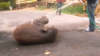 Cute baby elephant loving the hose!!