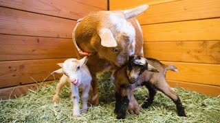 Well, that was a SURPRISE! 😲 (miniature goat birth!)