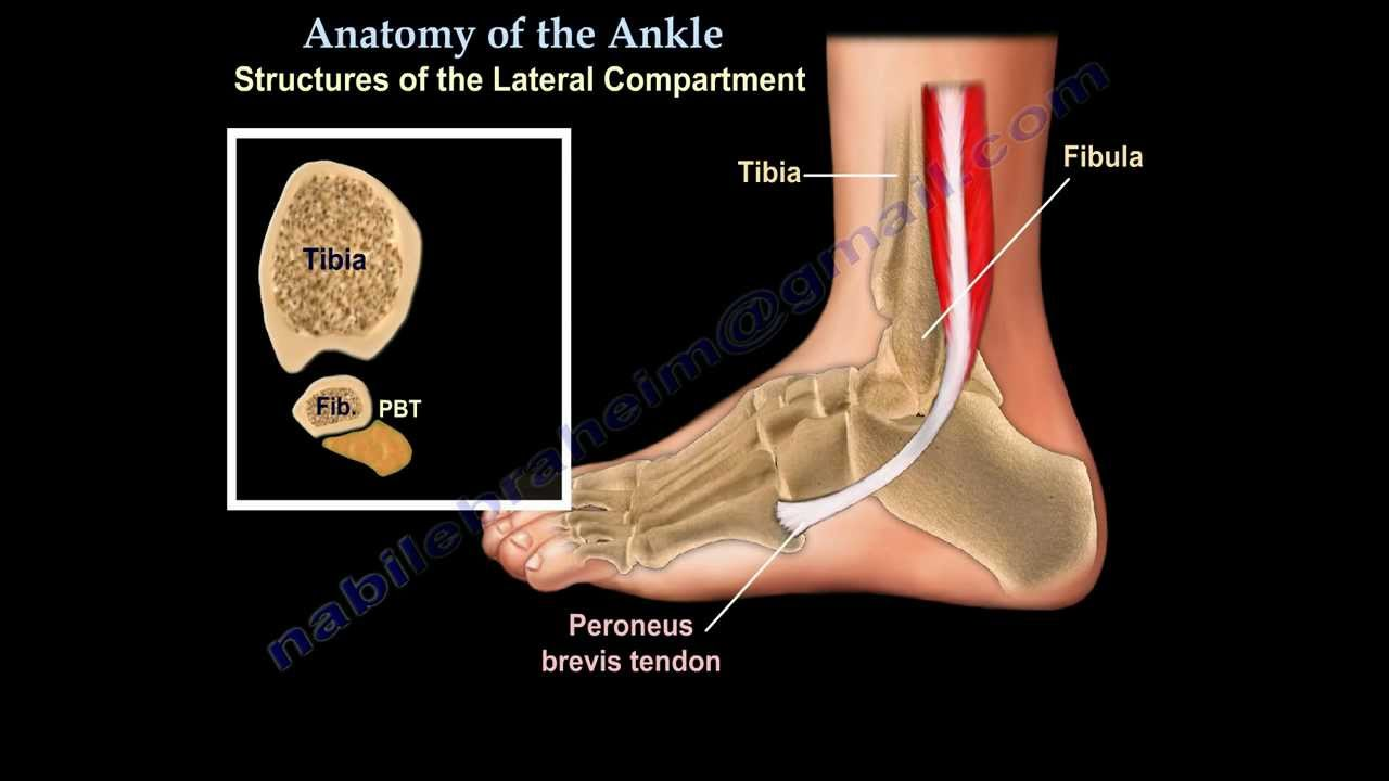 Anatomy Of The Foot & Ankle - Everything You Need To Know ...