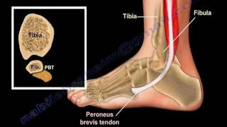 Anatomy Of The Foot & Ankle - Everything You Need To Know - Dr. Nabil Ebraheim