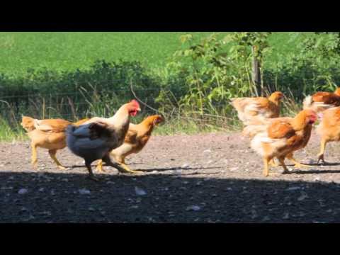 L'uomuNokko Organic Chickens from Finland