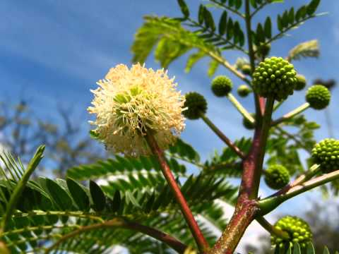 Buy Tropical Seeds Online Grow Rare Unusual Plants For The Garden Mimosa leucocephala