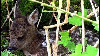 Косулёнок и заботливая мама (Косуля европейская) || Roe deer baby