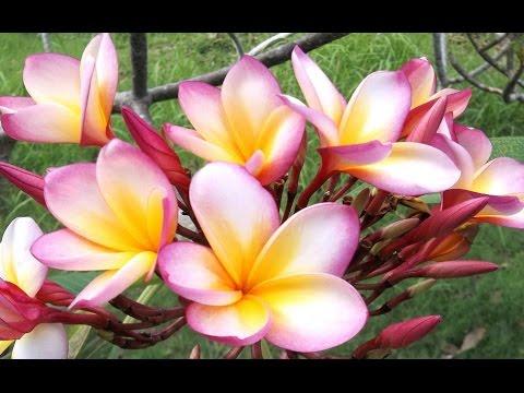 Istana Taman Jepun Kingdom Of Frangipani Plumeria Taman Bunga Kamboja Hd Youtube