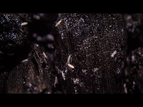 All About Springtails - Care, Culturing, Seeding & More