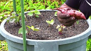 How to Grow Sweet Potato in Containers or Pots