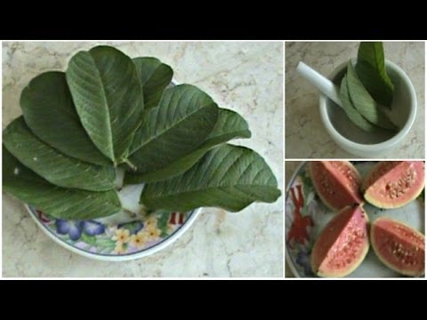 obat-masuk-angin-herbal:-cara-meramu-obat-masuk-angin-dari-daun-jambu-biji-muda
