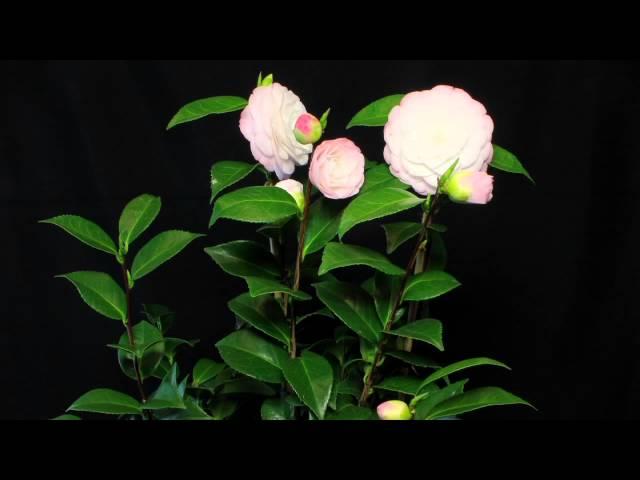 Camellia Japonica Time laps: Pépinières de Kervouric