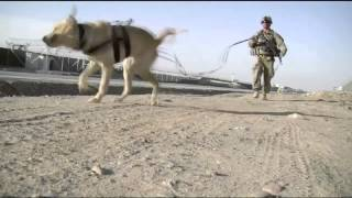 Dogs Train To Search For Ied's - Military Working Dogs Learn To Sniff For Explosives