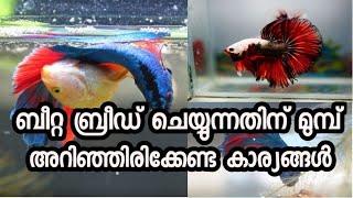 Preparation For Betta Breeding  Malayalam   betta fish conditioning malayalam Ep41
