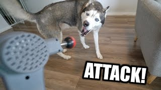 my-husky-reacts-to-massage-driller