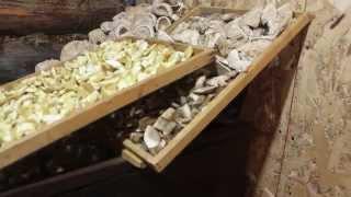 видео Промышленная сушилка для грибов