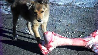 Giant Dog Eats Bones!