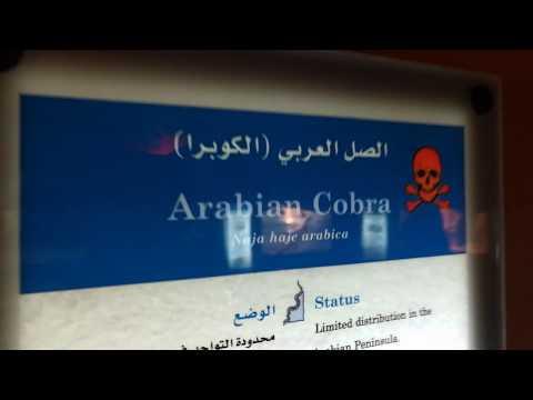Arabian Cobra at Arabia's Wildlife Centre Sharjah 28.04.2018