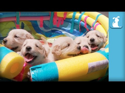 So Many Golden Retriever Puppies! (CUTE COMPILATION) - Puppy Love