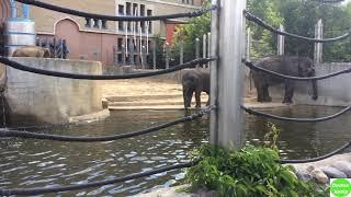 Слоны. Московский зоопарк | The elephant.  The Moscow Zoo / Видео