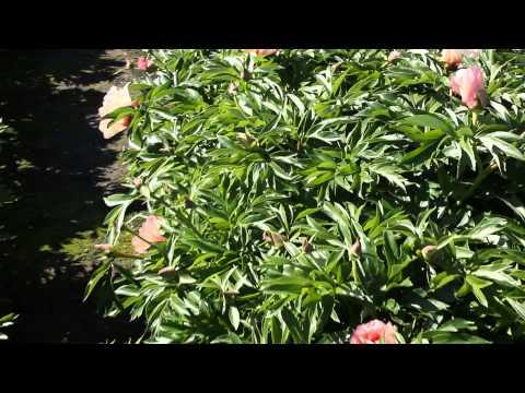 Callies Memory | R2 Flowers | Peonies