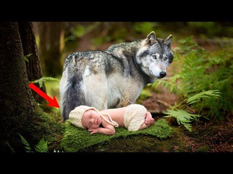 Волк принес МЛАДЕНЦА к дому СТАРИКА. Он РЫДАЛ, когда понял, ЧЕЙ он