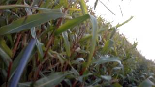 Охота на гуся 3 октября 2013 на Эльбе