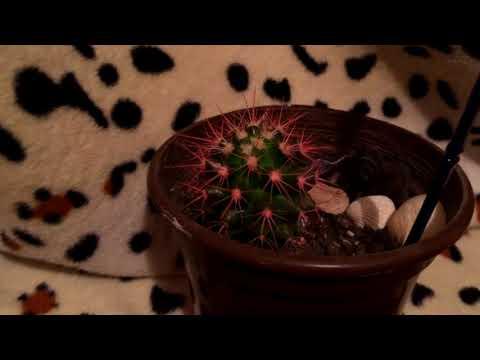 Как вырастить цветной кактус? Очень просто!