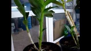 видео как пересадить орхидею дендробиум