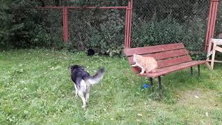 Кот защищает свою собаку