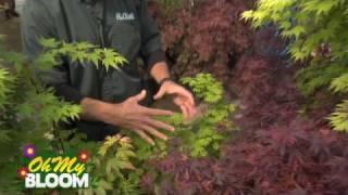 Japanese Maple Trees - OhMyBloom