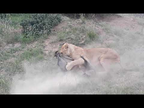 Young Male Lion Take A Warthog On A Whole #DeepWildLife