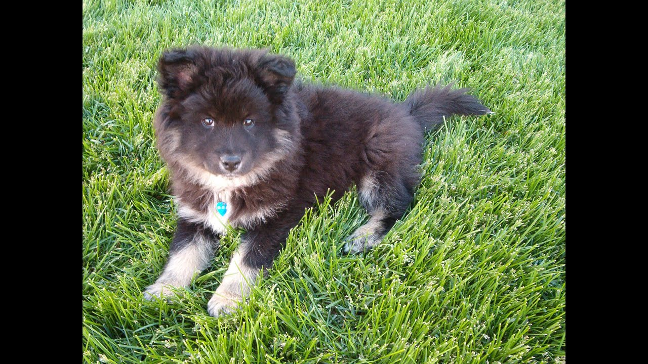 Finnish Lapphund Puppy to Adult USA - YouTube