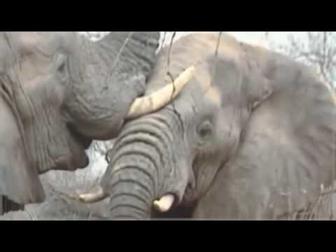 Rhinoceros and Elephant life in Africa - full HD documentary