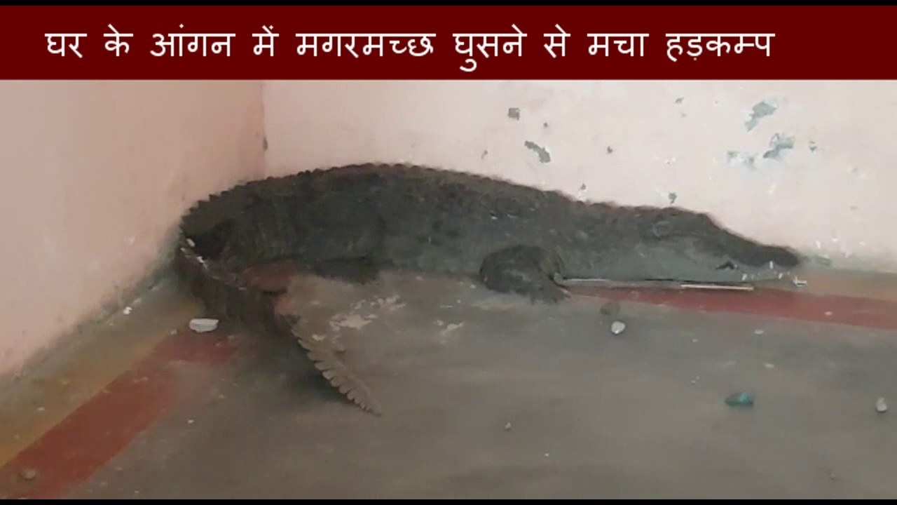 Family got shocked after seeing crocodile in their home