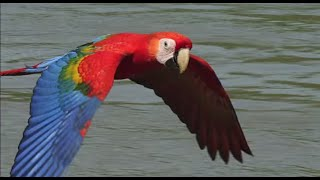 Scarlet Macaws take their medicine. Earthflight (Winged Planet) Narrator David Tennant)